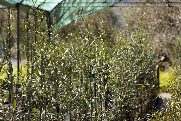 ulivi piante 2000x1500 - FARM